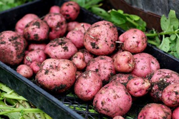new red potatoes iowa