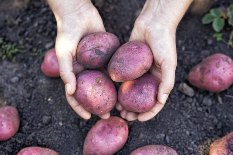 Farmer holding fresh harvested organic potatoes in his hands. Close up.