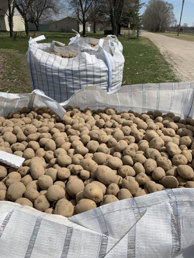 Summertime Potato Russet Crop