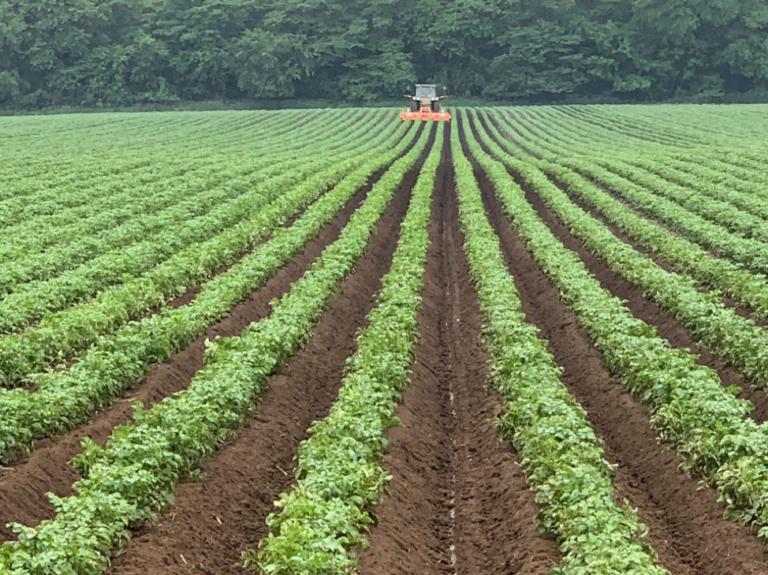 Summertime Potato Crop